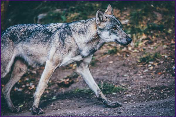 Coyote Anchoring New Energy Totem